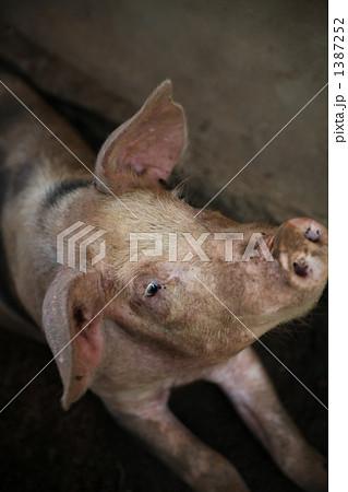 豚 1387252