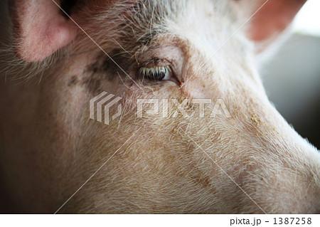 豚 1387258