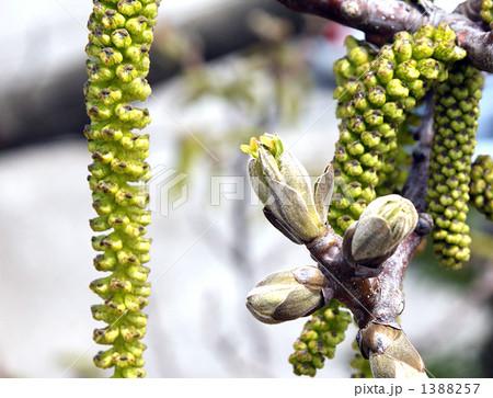 クルミの木、雄花と雌花 1388257
