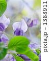 ふじ フジ 藤の写真 1388911