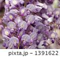 ふじ フジ 藤の写真 1391622