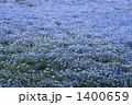 青いネモフィラの群生 1400659