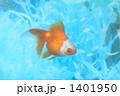 魚類 淡水魚 キンギョの写真 1401950