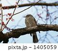 梅と野鳥 1405059