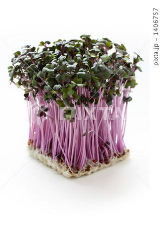 紫キャベツスプラウトの写真素材 [1406757] - PIXTA