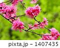 キクモモ (国立東京博物館) 1407435