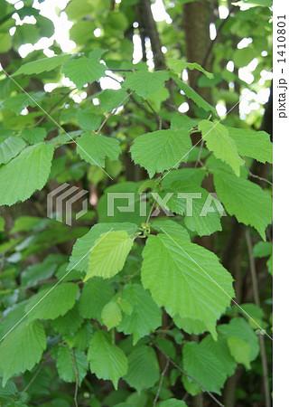 ヘーゼルナッツの木の葉っぱ 1410801