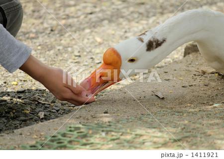 ガチョウに餌やり 1411921