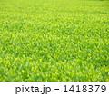 狭山茶 1418379