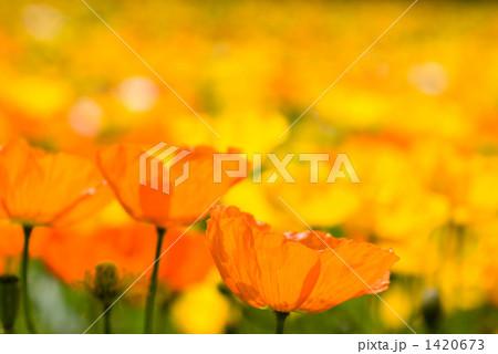 アイスランドポピーの花畑 1420673