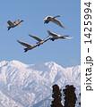 雪山 渡り鳥 白鳥の写真 1425994