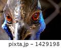 ヒクイドリ、正面のアップ 1429198