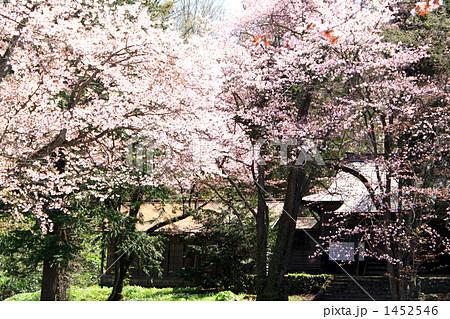旭山公園の桜 1452546