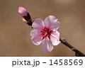 扁桃 巴旦杏 アーモンドの写真 1458569