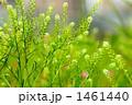 ナズナ ペンペン草 野草の写真 1461440