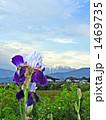 ジャーマンアイリス 花 青空の写真 1469735