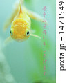 金魚 1471549