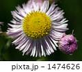 真上から見たハルジオンの花のアップ 1474626