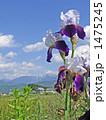 ジャーマンアイリス 花 青空の写真 1475245