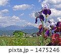 ジャーマンアイリス 花 青空の写真 1475246