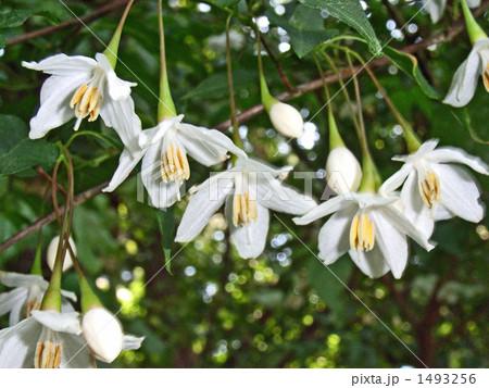 花がぶら下がるエゴノキ 1493256