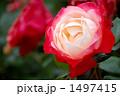 バラの品種、ノスタルジィ 1497415
