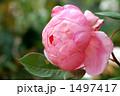 バラの品種、ブラザー・カドフィール 1497417