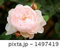 バラの品種、ジェントル・ハーマイオニー 1497419