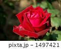 バラの品種、ミスター・リンカーン 1497421