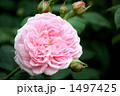 バラの品種、マサコ、エグランティーヌ 1497425