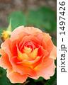 バラの品種、ブラスバンド 1497426