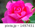 バラの品種、うらら 1497431