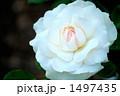 バラの品種、スワンレイクCL 1497435