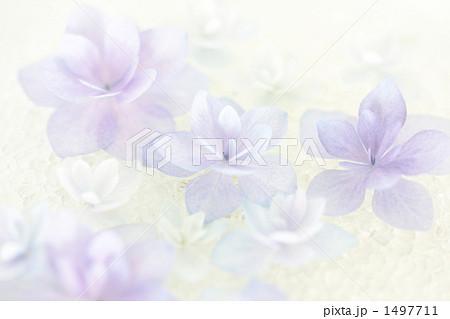 紫陽花-01■城ヶ崎の雨■八重ガクアジサイ-クローズアップ 1497711