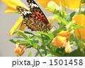 ヒメアカタテハ 1501458
