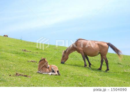 野生馬の親子 1504090
