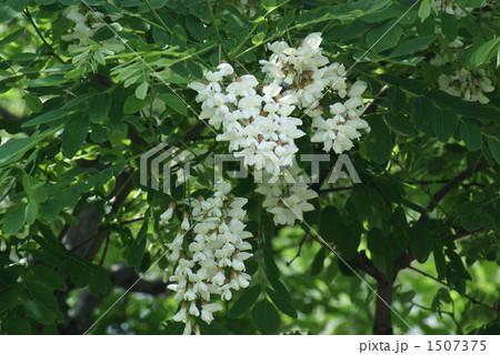 アカシアの花 1507375