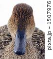 冬鳥 オナガガモ 渡り鳥の写真 1507976