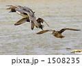 カモ 渡り鳥 冬鳥の写真 1508235