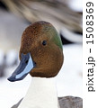 渡り鳥 冬鳥 オナガガモの写真 1508369