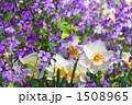 ムラサキナバナ 水仙 花の写真 1508965