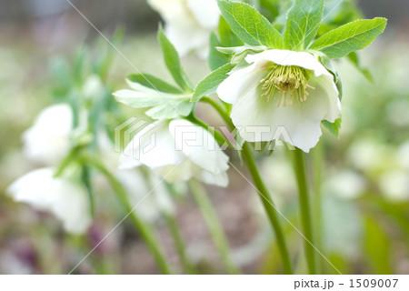 レンテンローズ(クリスマスローズ)の花 1509007