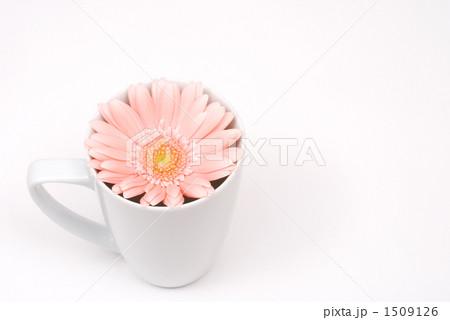 カップの中のガーベラの花 1509126