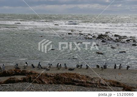 マゼランペンギン 1520060