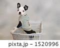 子犬 ボストンテリア 犬の写真 1520996