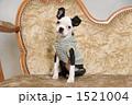 子犬 ボストンテリア 犬の写真 1521004