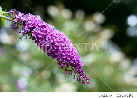 フサフジウツギ(ブッドレア)の花 1525090