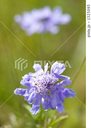 マツムシソウの花 1525095