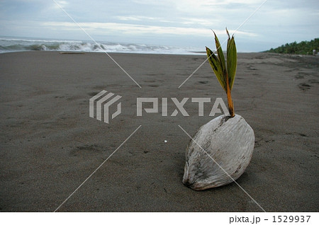 椰子の芽生え 1529937