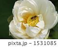 妙蓮 蓮の花 ミツバチの写真 1531085